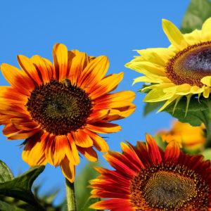 Sonneblumen_mixto_1400x1400